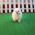 Micro Teacup Pomeranian Puppies For Sale [Macchiato] - a Pomeranian puppy