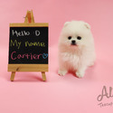 Micro Teacup Pomeranian Puppies For Sale [Cartier] - a Pomeranian puppy