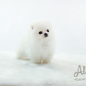 Mini Teacup Pomeranian Puppies For Sale - Gucci - a Pomeranian puppy