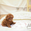 Teacup Toy Poodle Puppies For Sale - Caramel - a Poodle puppy