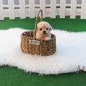 Teacup Toy Poodle Puppies For Sale - Vanilla - a Poodle puppy