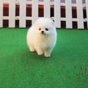 Teacup Toy Pomeranian Puppies For Sale - Macchiato - a Pomeranian puppy