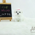 Teacup Toy Maltese Puppies For Sale - Latte - a Maltese puppy