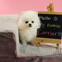Teacup Toy Pomeranian Puppies For Sale - Cartier - a Pomeranian puppy