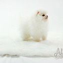Teacup Toy Pomeranian Puppies For Sale - Gucci - a Pomeranian puppy