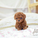 Mini Teacup Poodle Puppies For Sale [Caramel] - a Poodle puppy