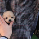 Mini Teacup Poodle Puppies For Sale [Vanilla] - a Poodle puppy