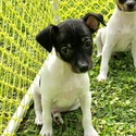 Oyster Creek Rat Terriers owned by Oyster Creek Rat Terriers