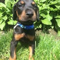 Doberman puppies owned by Doberman puppies