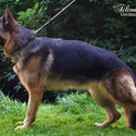 Titlonhaus - a German Shepherd Dog puppy