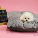 Teacup Toy Pomeranian Puppies For Sale [Cartier] - a Pomeranian puppy