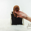 Teacup Toy Poodle Puppies For Sale [Teddy] - a Poodle puppy
