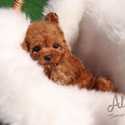 Mini Toy Poodle Puppies For Sale [Bambi] - a Poodle puppy