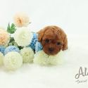 Mini Toy Poodle Puppies For Sale [Teddy] - a Poodle puppy