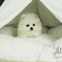 Mini Teacup Pomeranian Puppies For Sale [Cartier] - a Pomeranian puppy