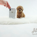 Toy Teacup Poodle Puppies For Sale [Cheese] - a Poodle puppy