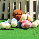 Toy Teacup Poodle Puppies For Sale [Bambi] - a Poodle puppy