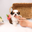 Mini Teacup Shih Tzu Puppies For Sale [Kong] - a Shih Tzu puppy