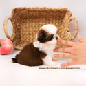 Micro Teacup Shih Tzu Puppies For Sale [Kong] - a Shih Tzu puppy