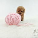 Mini Toy Poodle Puppies For Sale [Cheese] - a Poodle puppy