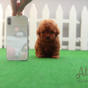 Toy Teacup Poodle Puppies For Sale [Hani] - a Poodle puppy
