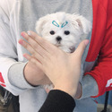 Toy Teacup Maltese Puppies For Sale [Owen] - a Pomeranian puppy