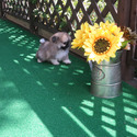 Toy Teacup Pomeranian Puppies For Sale - a Pomeranian puppy