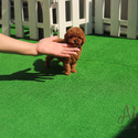 Tiny Teacup Poodle Puppies For Sale [Teddy] - a Pomeranian puppy