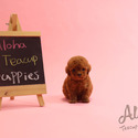 Toy Teacup Poodle Puppies For Sale - a Poodle puppy