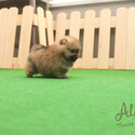 Micro Teacup Pomeranian Puppies For Sale - a Pomeranian puppy