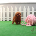 Micro Teacup Poodle Puppies For Sale - Hani - a Poodle puppy