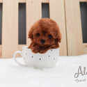 15% Off Teacup Poodle Puppies For Sale - Hani - a Poodle puppy