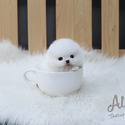 Tiny Teacup Pomeranian Puppies For Sale - Gelato - a Pomeranian puppy