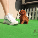 Tiny Teacup Poodle Puppies For Sale - Teddy - a Poodle puppy