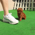 Mini Teacup Poodle Puppies For Sale - Teddy - a Poodle puppy