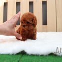 Teddy Bear Teacup Poodle Puppies For Sale - Hani - a Poodle puppy
