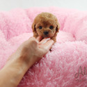Teddy Bear Teacup Poodle Puppies For Sale - Cheese - a Poodle puppy
