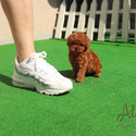 Teddy Bear Teacup Poodle Puppies For Sale - Teddy - a Poodle puppy