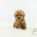 Micro Teacup Poodle Puppies For Sale [Cheese] - a Pomeranian puppy