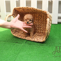 Teddy Bear Teacup Poodle Puppies For Sale [Cheese] - a Pomeranian puppy