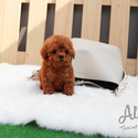 Teddy Bear Teacup Poodle Puppies For Sale [Hani] - a Poodle puppy