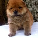 ♡CHOW CHOW PUPPIES♡ - a Chow Chow puppy