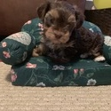 Beautiful Morkie Puppy - a Yorkshire Terrier puppy