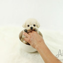 Mini Teacup Poodle Puppies For Sale [Tiffany] - a Poodle puppy