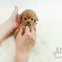 Mini Teacup Poodle Puppies For Sale [Cheese] - a Poodle puppy