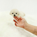 Toy Teacup Poodle Puppies For Sale [Tiffany] - a Poodle puppy