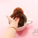Toy Teacup Poodle Puppies For Sale [Wendy] - a Poodle puppy