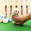 Micro Teacup Poodle Puppies For Sale [Tiffany] - a Porcelaine puppy