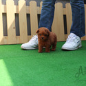Micro Teacup Poodle Puppies For Sale [KitKat] - a Poodle puppy