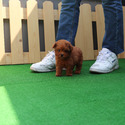 Micro Teacup Poodle Puppies For Sale [KitKat] - a Pomeranian puppy